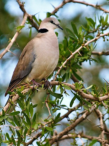 File:Ring-necked-Dove-Masai-Mara.jpg