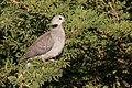 Ring-necked Dove (27973002490).jpg