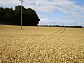 Ripe wheat at Stubblefield - geograph.org.uk - 213783.jpg