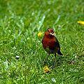 Robin (E) (3) (8837769947).jpg