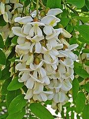 Agát biely - kvety