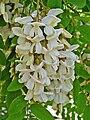 Robinia pseudoacacia 003.JPG