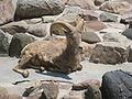 Rocky Mountain Bighorn Sheep at Potter Park Zoo.jpg