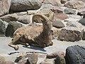 Rocky Mountain Bighorn Sheep at Potter Park Zoo.jpg