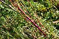 RodestengelJKK04-09-05 43 Es.jpg