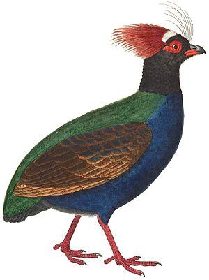 Phasianidae