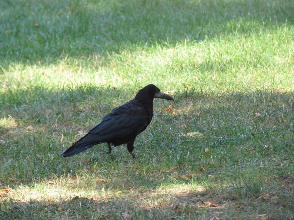 Rook in the grass 03