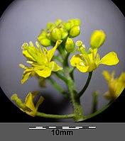 Rorippa sylvestris (s. str.) sl14.jpg