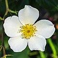 Rosa. Onbenaamde cultivar (actm) 03.jpg