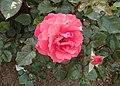 Rosa 'Barockstadt Dresden' kz01.jpg