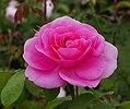Rosa 'Gertrude Jekyll' David Austin 01.jpg