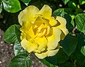 Rosa 'Serendipity' in Dunedin Botanic Garden 02.jpg