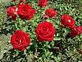 Rosa Mr Lincoln 2019-07-11 2832.jpg