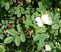 Rosa spinosissima inflorescence (83).jpg
