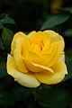 "Rose, ""Izu no odoriko"" - Flickr - nekonomania.jpg"