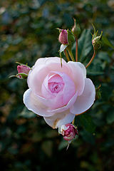 Rose, St. Cecilia - Flickr - nekonomania.jpg