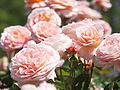 Rose, Tamora, バラ, タモラ, (15435290480).jpg