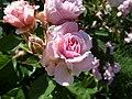 Rose garden, Forty Hall (35608328526).jpg