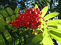 Rowan-berries (Sorbus aucuparia), Sweden, 20150828a.jpg