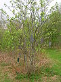 Rowan Wish Tree, Eglinton Country Park.JPG
