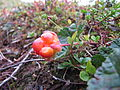 Rubus chamaemorus.jpg