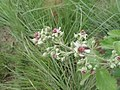 Rubus rigidus.jpg