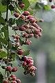 Rubus sp., Giresun 2017-07-06 01-2.jpg