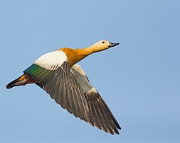 Ruddy Shelduck-5631.jpg
