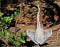 Rufescent Tiger Heron (Tigrisoma lineatum) sunning itself ... - Flickr - berniedup.jpg