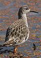 Ruff, Philomachus pugnax, at Marievale Nature Reserve, Gauteng, South Africa (21006738815).jpg