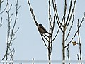 Rufous-backed Redstart (Phoenicurus erythronotus) (15707330018).jpg