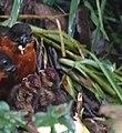 Rufous-fronted wood-quail (47091284674).jpg