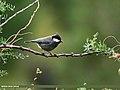 Rufous-naped Tit (Periparus rufonuchalis) (28491026153).jpg