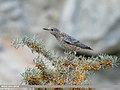 Rufous-tailed Rock-thrush (Monticola saxatilis) (49049335197).jpg