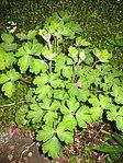 Ruhland, Grenzstr. 3, aufkommende Akelei im Garten, Blätter und wachsende Blütenstiele, Frühling, 01.jpg