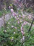 Ruhland, Grenzstraße 3, Mandelbäumchen (Prunus triloba), blühend, Frühling, 02.jpg