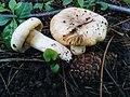 Russula sp.jpg