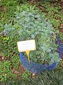 Ruta graveolens - Hong Kong Botanical Garden - IMG 9578.JPG