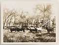 SLNSW 919832 Series 02 Cattle ca 19211924.jpg