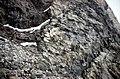S of Mt Jackson syn-brecciation mafic dyke in complex breccia.jpg