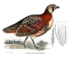 Tibetan partridge - Illustration accompanying the species description