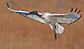 Sacred Ibis taking of.jpg