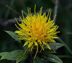 Safflower - Image: Safflower