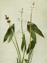 Sagittaria latifolia WFNY-001.png