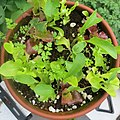 Salad greens in pot.jpg