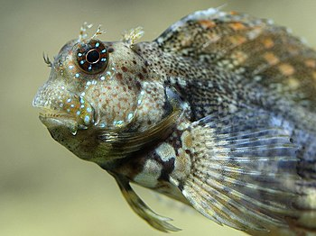 English: Algae Blenny (Salarias fasciatus) in ...