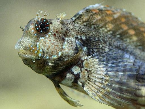 Salarias fasciatus Aquarium DG