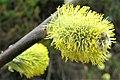 Salix caprea. Salguera.jpg