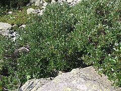 Salix helvetica a1.jpg