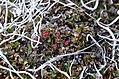 Salix rotundifolia-MW0158298-live.jpg